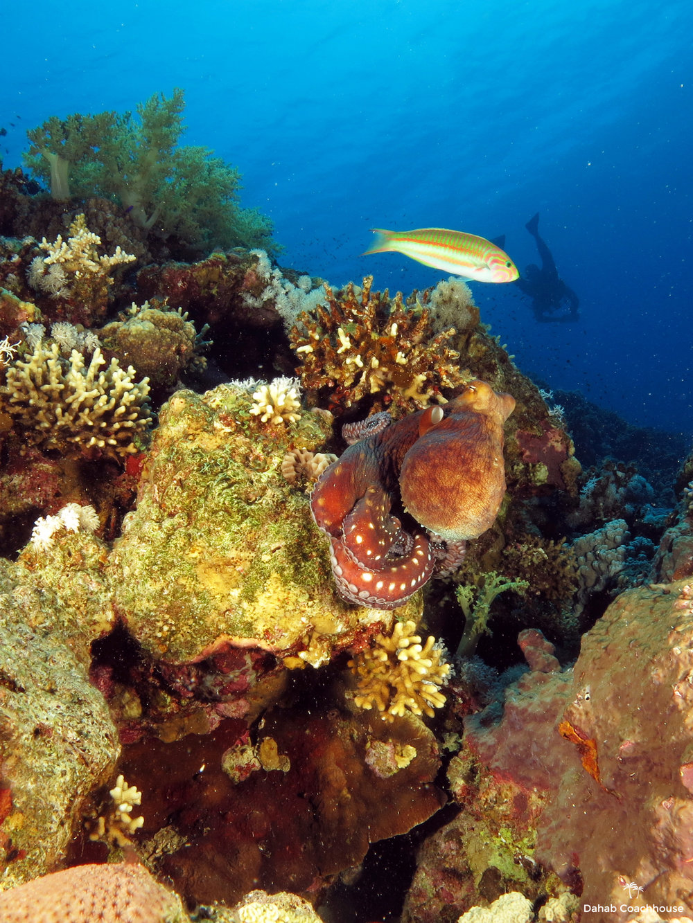Dahab_Coachhouse_Egypt_Red_Sea_Diving_Beach_Accommodation_Holiday_Trave_Octopus.JPG