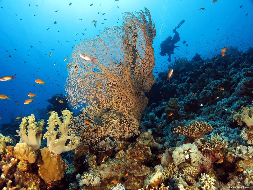 Dahab_Coachhouse_Egypt_Red_Sea_Diving_Beach_Accommodation_Holiday_Travel_Diver_Gorgonian.JPG