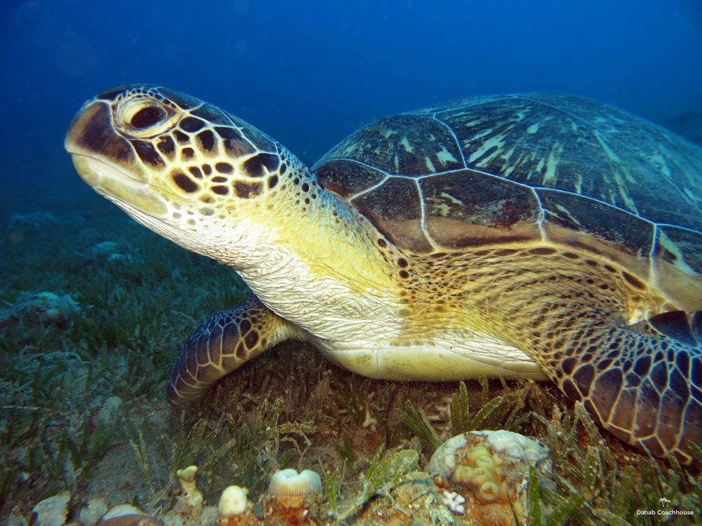 Dahab_Coachhouse_Egypt_Red_Sea_Diving_Beach_Accommodation_Holiday_Travel_Green_Turtle.JPG