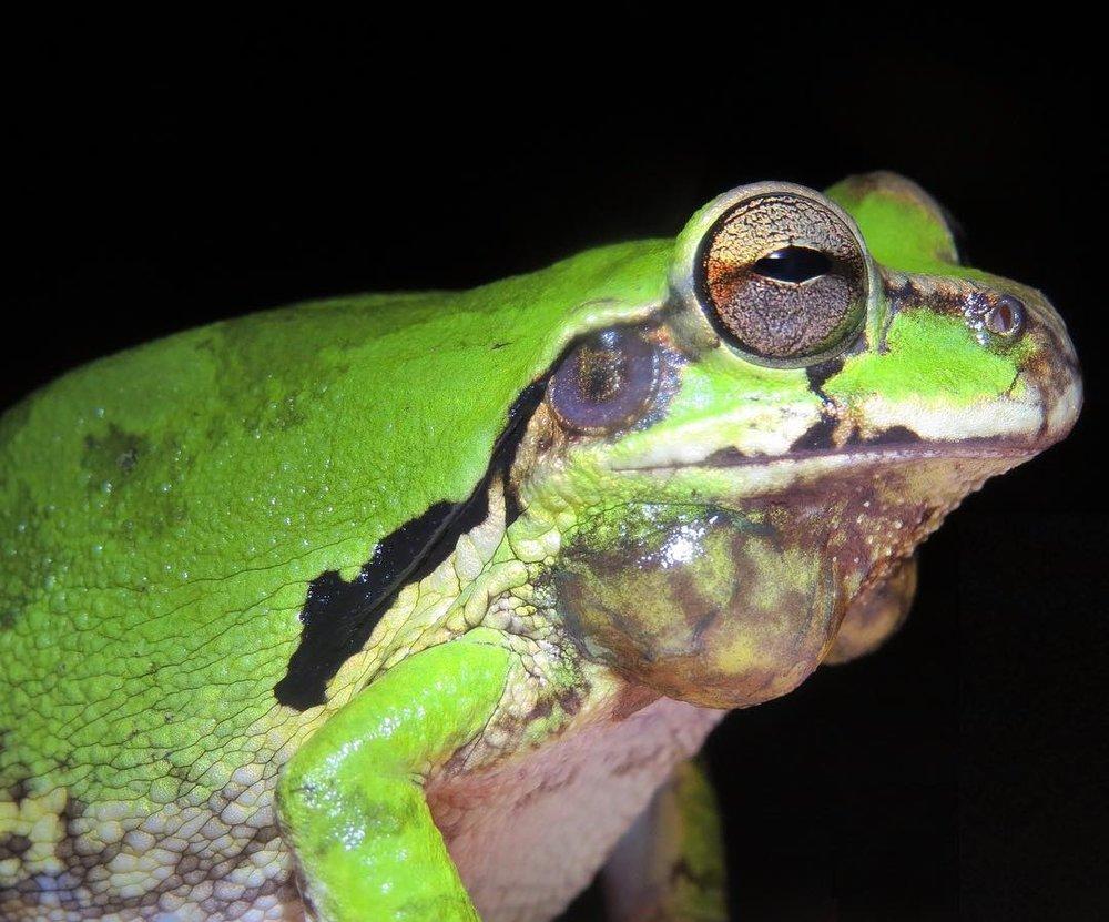 Una de mis fotos favoritas de una Rana Enmascarada macho (Smilisca phaeota), esta especie tiene la capacidad de cambiar de color de un café pálido a este hermoso verde.