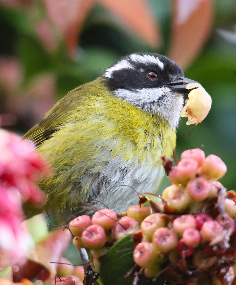 Tangara de Monte Cejiblanca (Chlorospingus pileatus). Especie endémica que habita solamente en las zonas altas y medias de Costa Rica y el oeste de Panamá. Suelen andar en grupos o bandadas mixtas en donde se mueven activamente en busca de alimento.