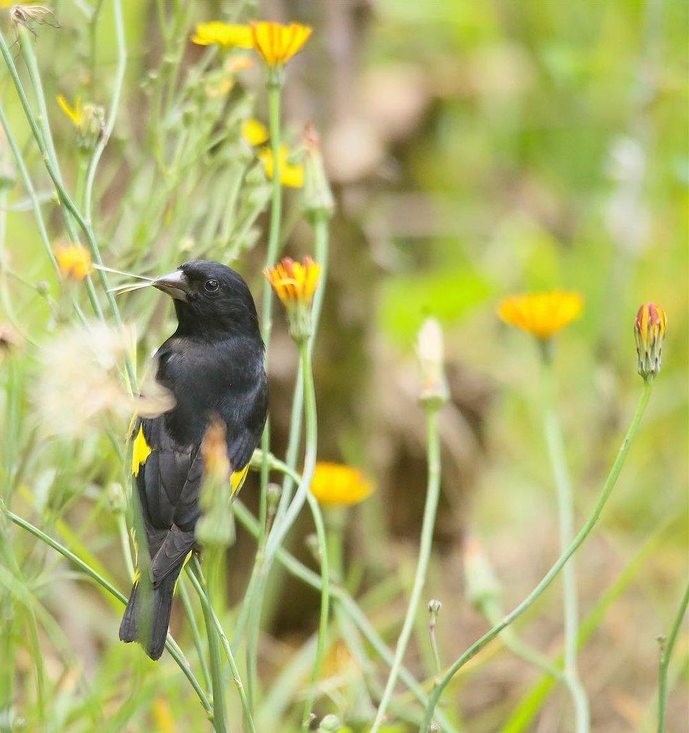 Un Jilgero Vientriamarillo macho buscando material para la construcción de su nido. En la foto se puede apreciar un poco de sus características manchas amarillas en sus alas y cola.