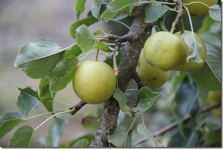 Asian Pear Crisp 1