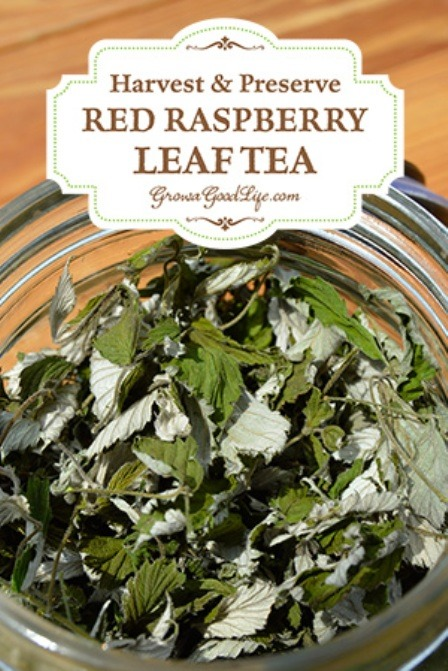 Harvest and Preserve Red Raspberry Leaf Tea from Grow a Good Life