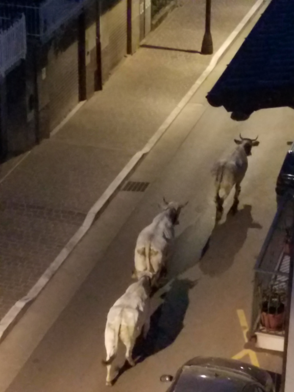 Cows being herded through town