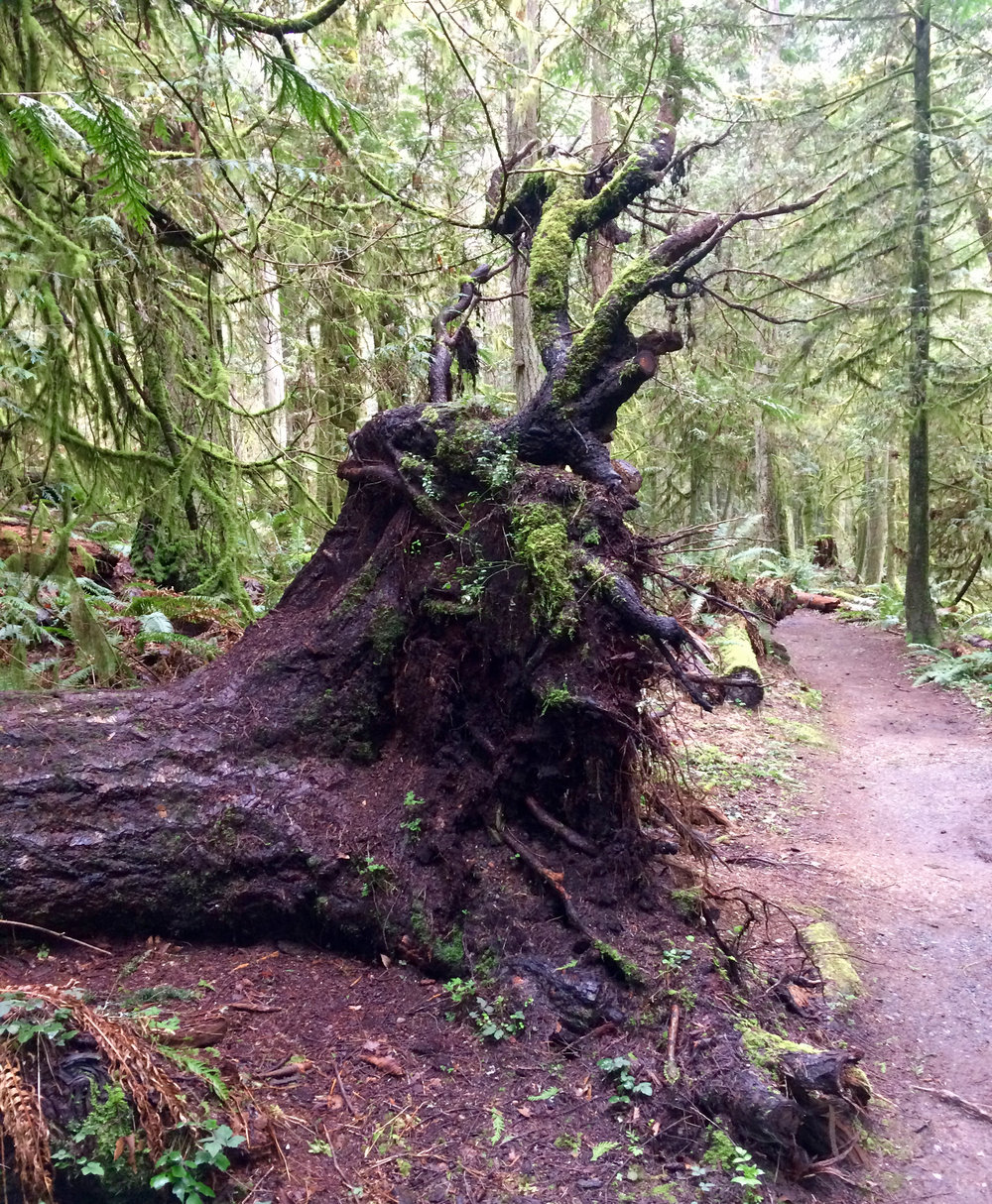 Amazing old root structure from fallen Douglas Fir giant