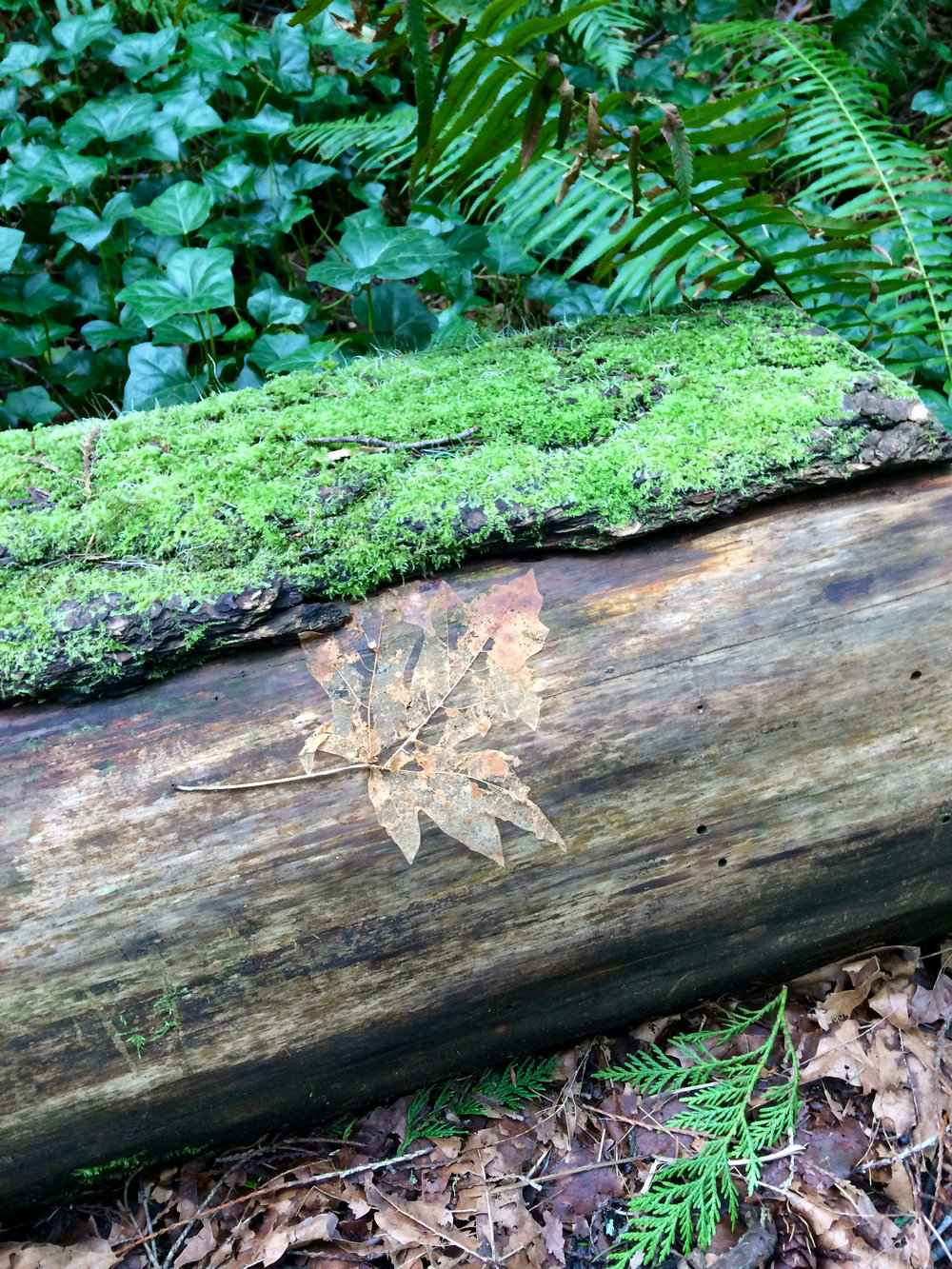 Beautiful ghost leaf on old log in the Grand Forest