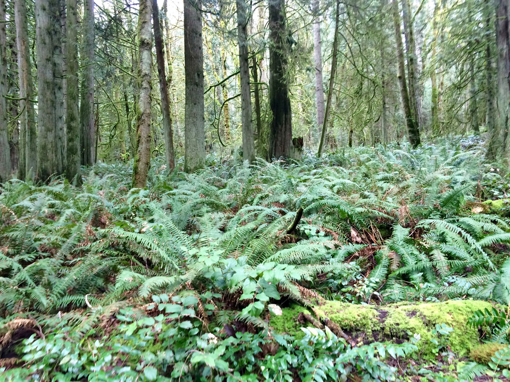 Fern grove in the Grand Forest