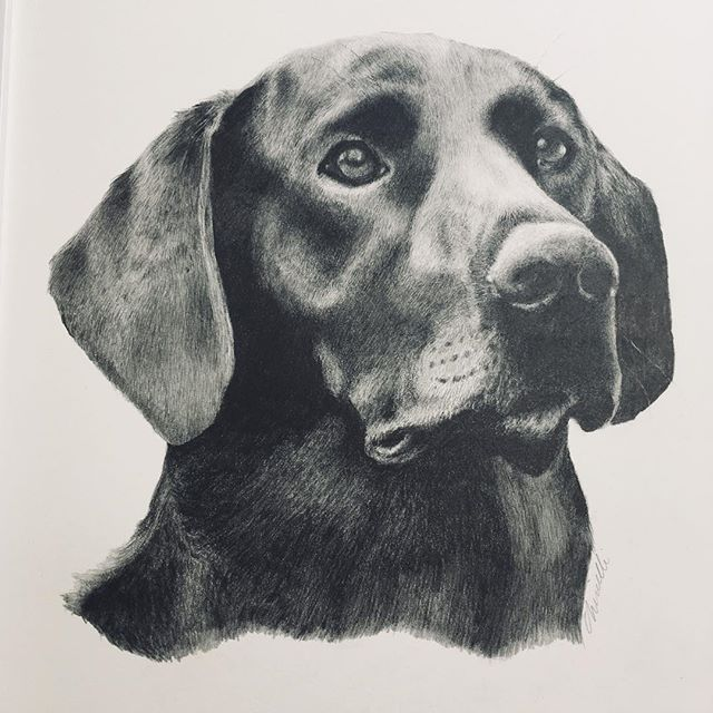 """SCOUT"" a six year old #blacklabrador #blacklabsofinstagram #graphitedrawing #pencildrawing #portrait #sportingdogs #drawings #realism #sportingdogportrait is done and waiting for pick-up."