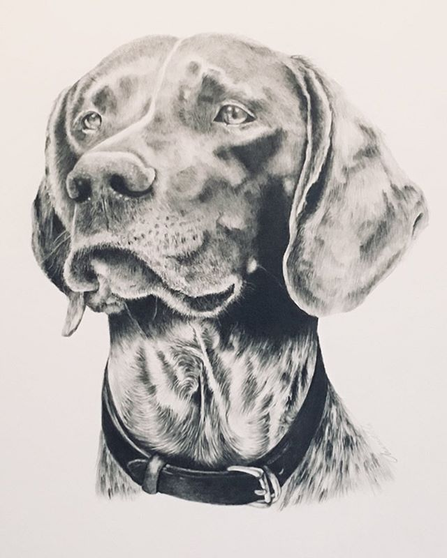 """Buddy"" the most recent commission. He lives in NYC and comes up to Millbrook on weekends #gsp #germanshorthair #sportingdogs #sandanona #sportingdog portraits #portrait #graphitedrawing #drawing"