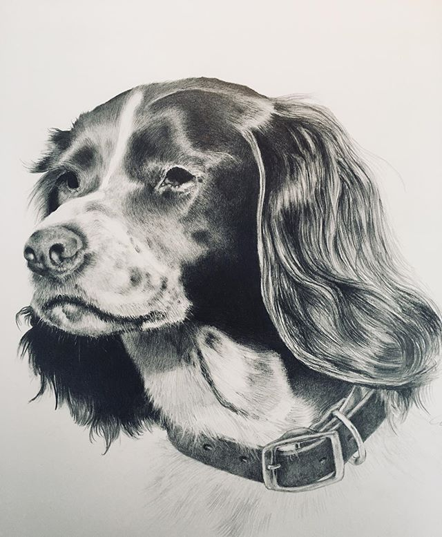 """DAKOTA"" waiting for her new home next week. A real joy to complete. What a wonderful subject. #springerspaniel #canineportrait #portraitdrawing #sportingdogs #birddogs #orvisdogs #orvissandanona"