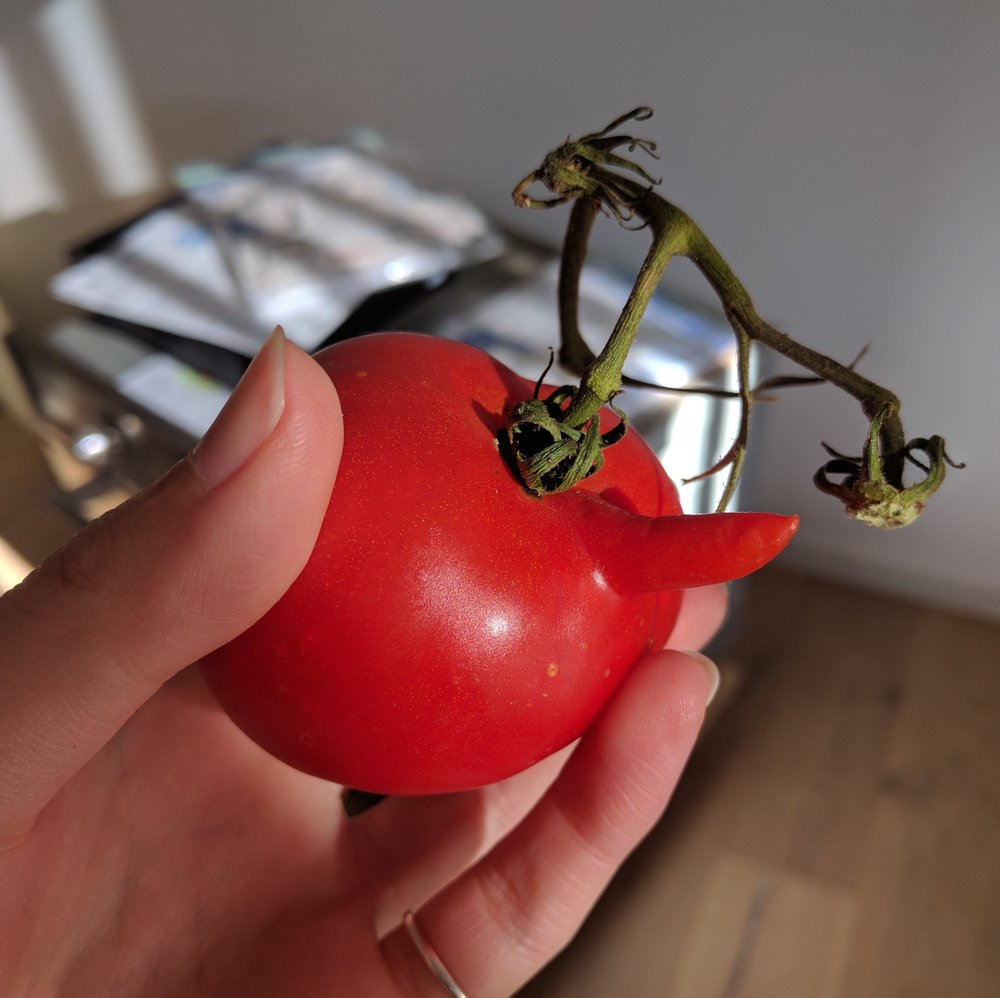 Yogic diet:  featuring a cheeky homegrown tomato from Alyssa's garden