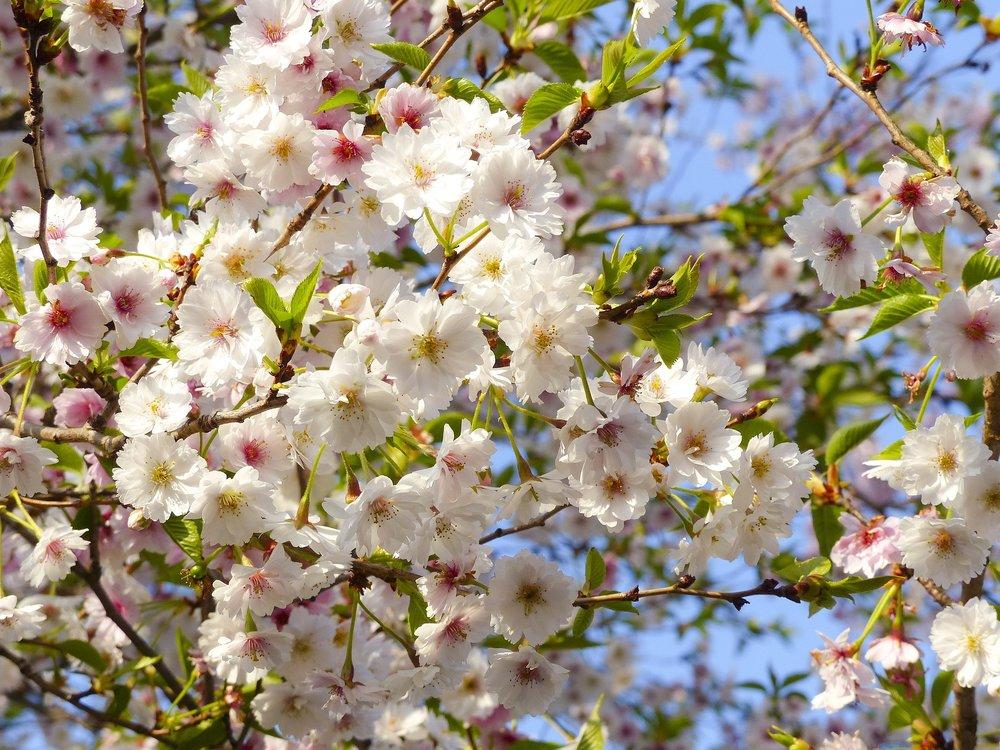 blossom-cherry.jpg