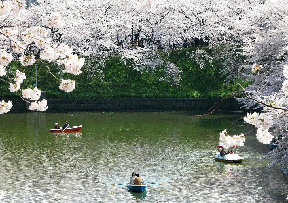 chidori-cherry-blossoms.jpg