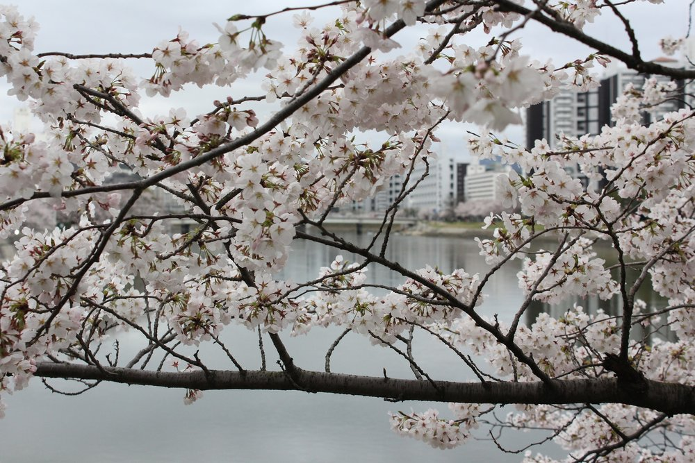 cherry-blossom-city.jpg