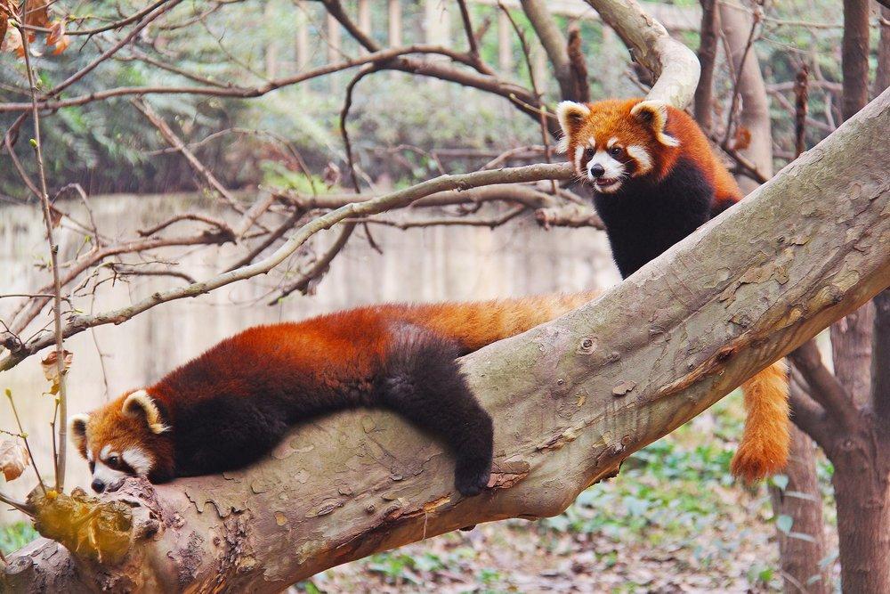 loveable-red-panda.jpg