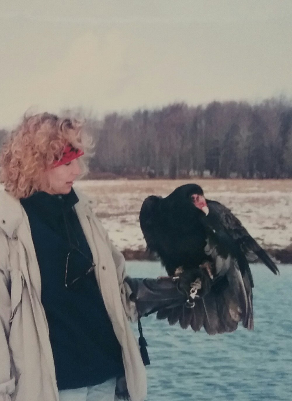 Retch, the Turkey Vulture who damaged his wing in a vehicle collision and was not releasable to the wild.