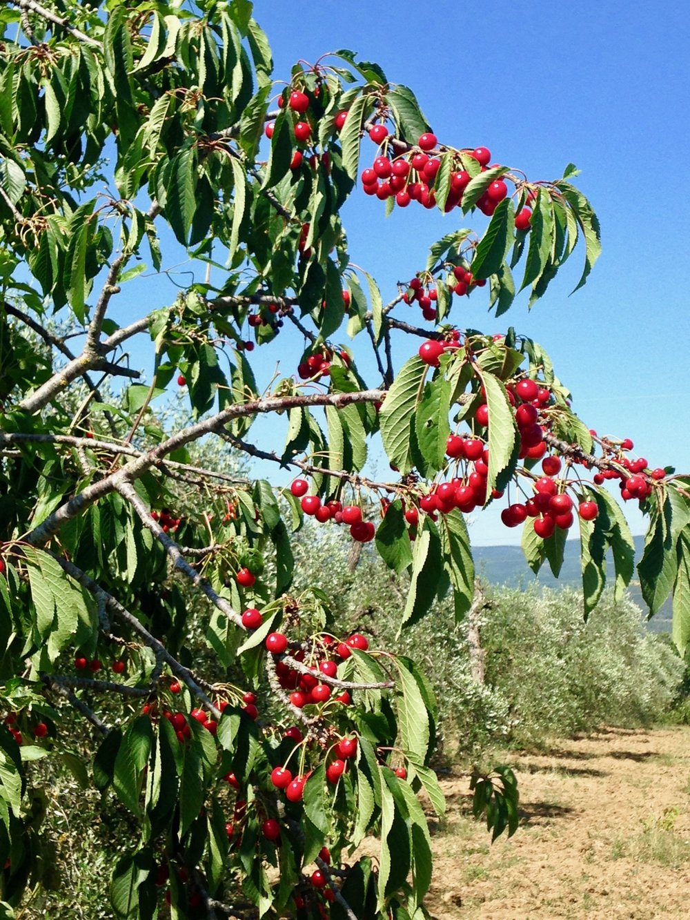 Wild cherries and olive trees
