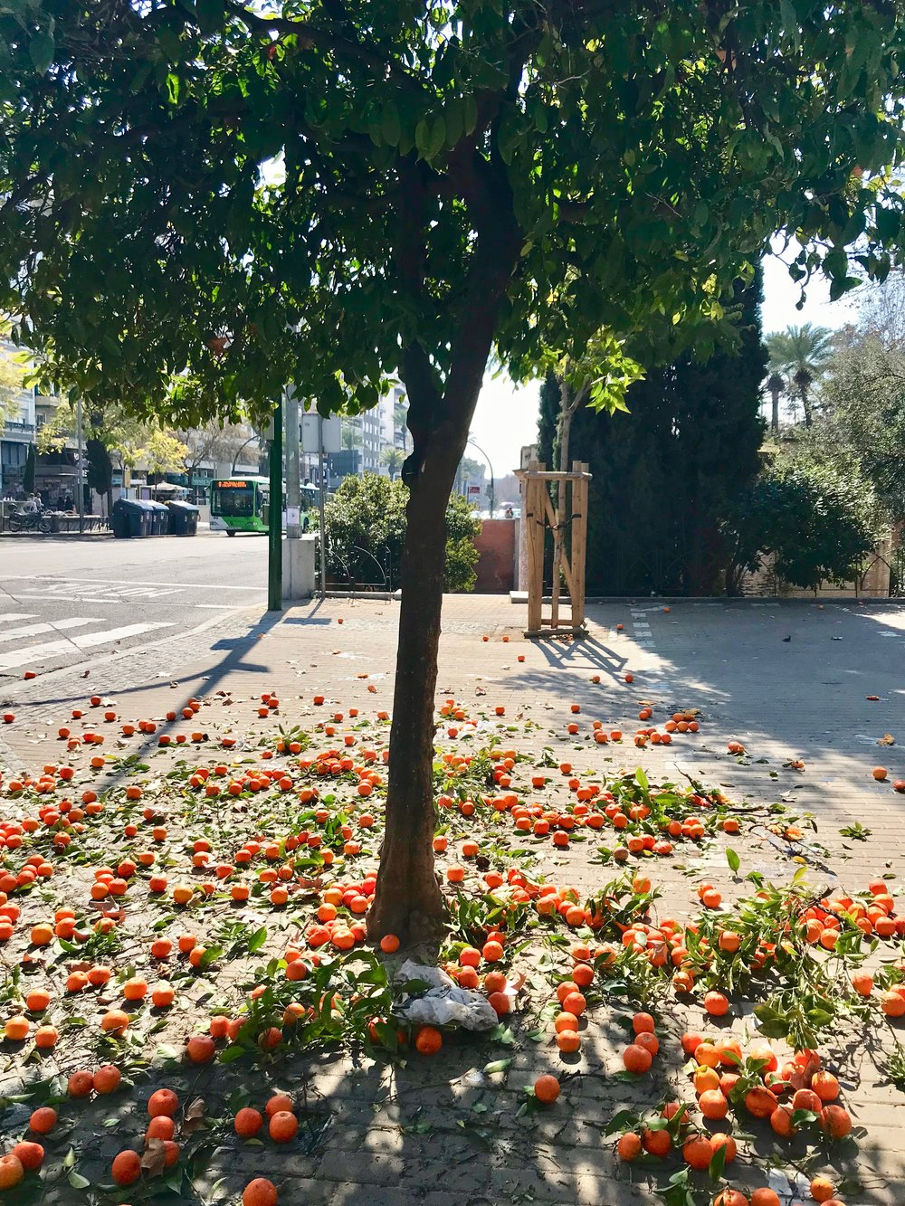 There are orange trees ( naranjos ) everywhere here, which is one of my absolute favorite things about Andalucía. The oranges are too bitter to eat, so the city collects them and uses them for marmalades, perfumes, and other products.