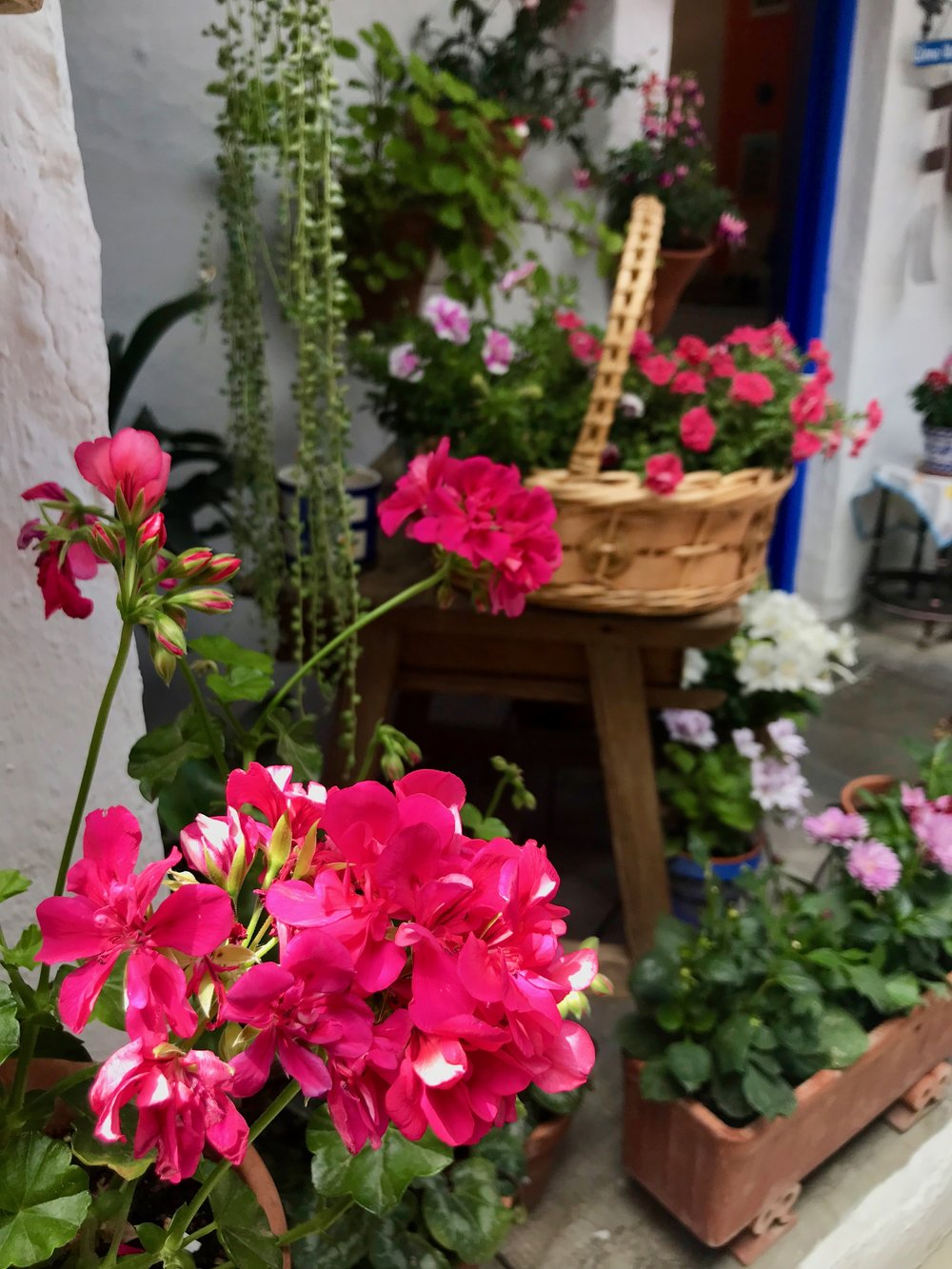 Glamour shot of geraniums, which seem to be the official flower of Córdoba.