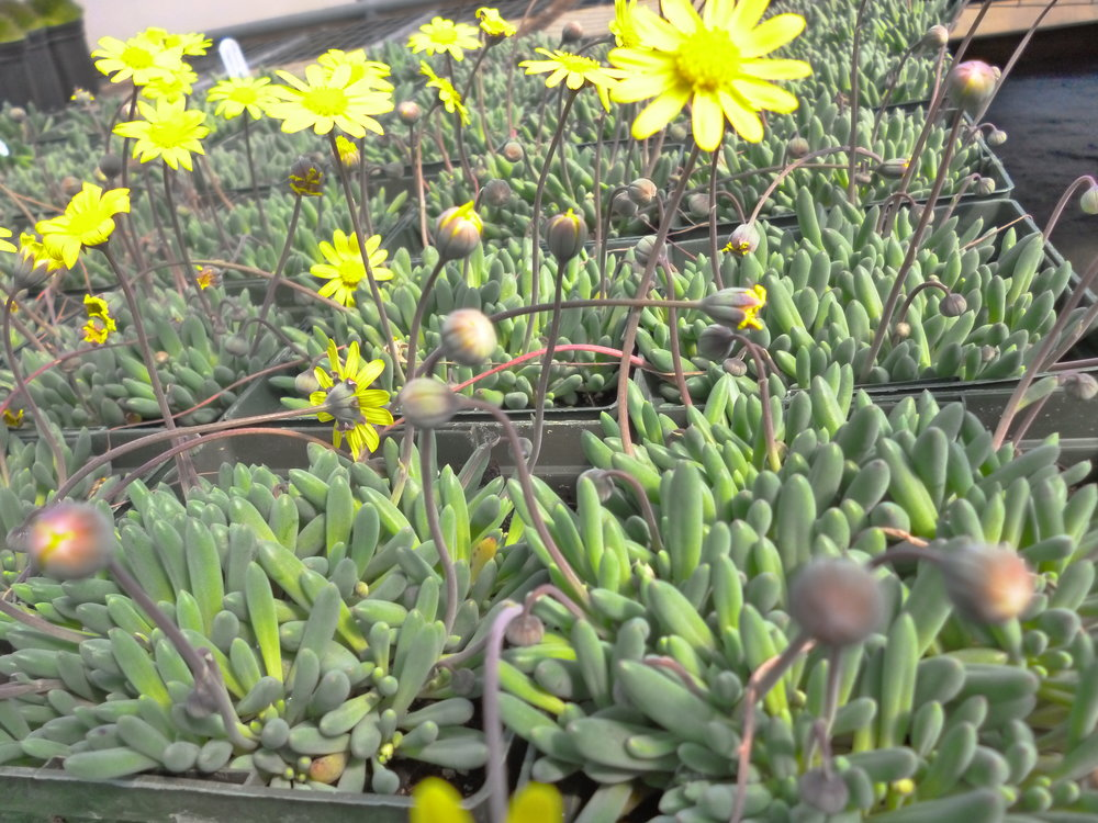 Succulents nething grows hardy in zones 5 9 this succulent has a similar look to delosperma but has taller daisy like yellow flowers forms a dense mat and is drought resistant mightylinksfo