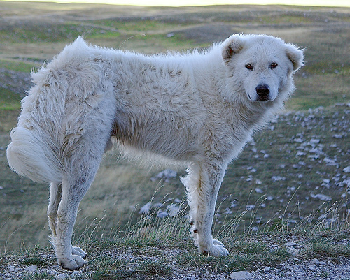 Maremma sheepdog. Image by MGerety, via Wikimedia Commons