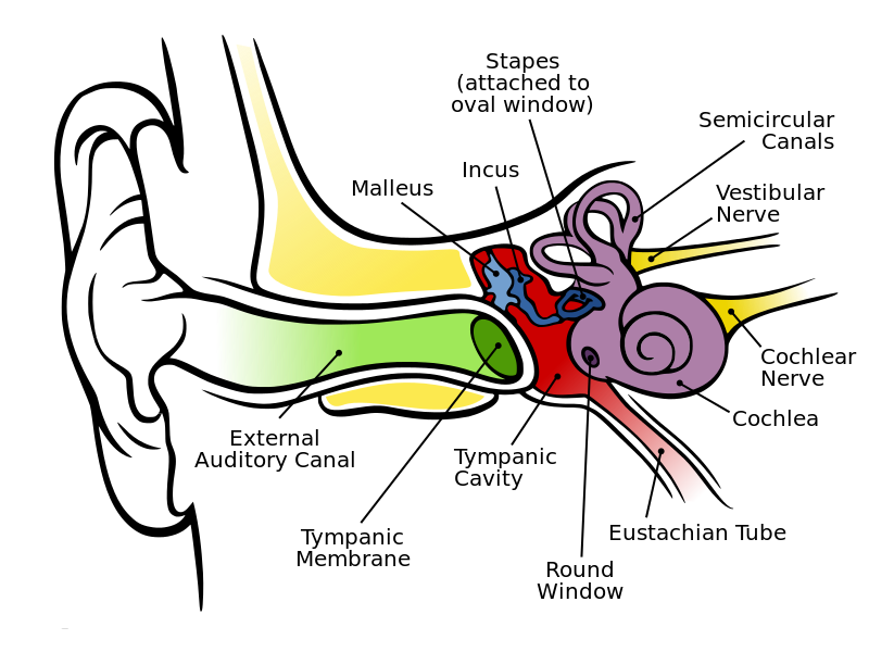 Anatomy Ear.png