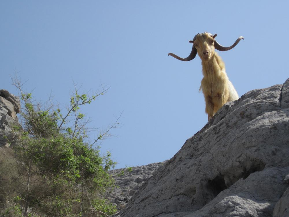 oman1_J_D2_curious_goat.jpg