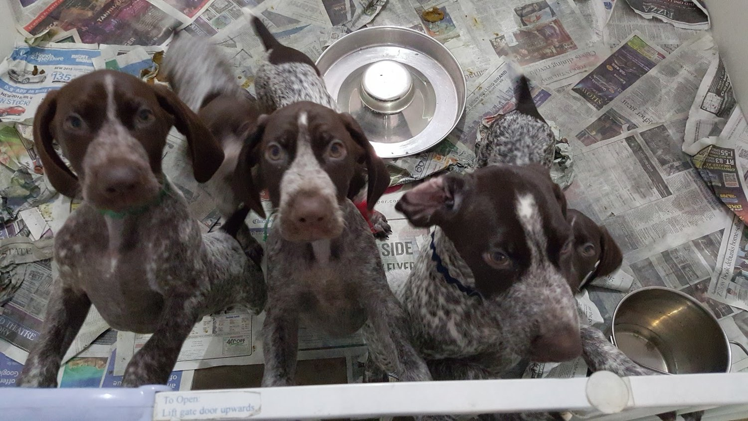 Related Pages — German Shorthaired Pointer Club of Illinois