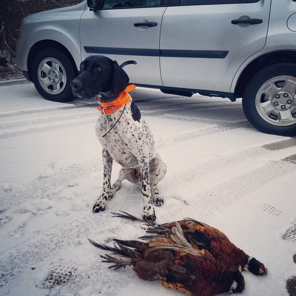 Buster with brace of Pheasants