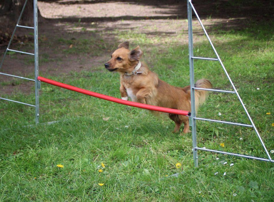 Hosting_Your_Own_Dog_Olympics_Hurdle_Handbook_CatDogFish-950x700.jpg