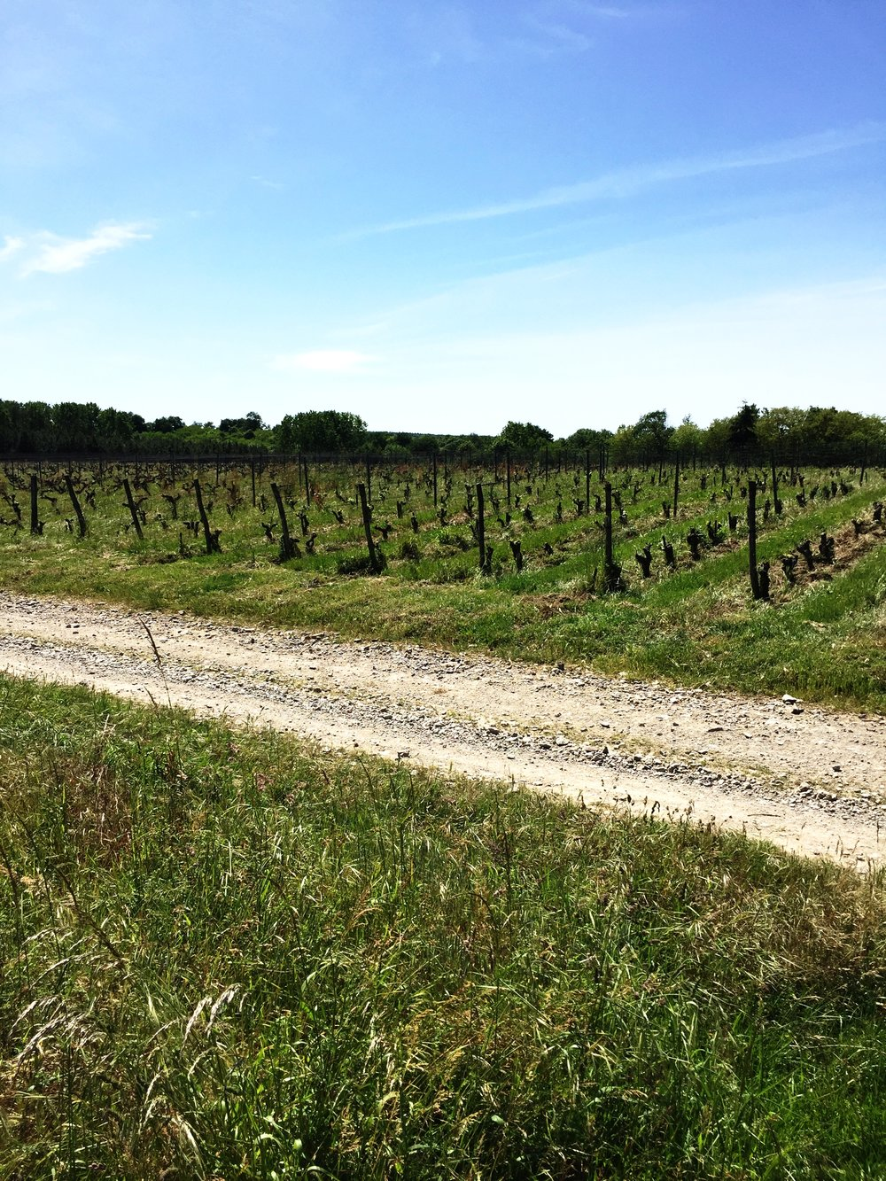 Check out the grass between the rows of vines