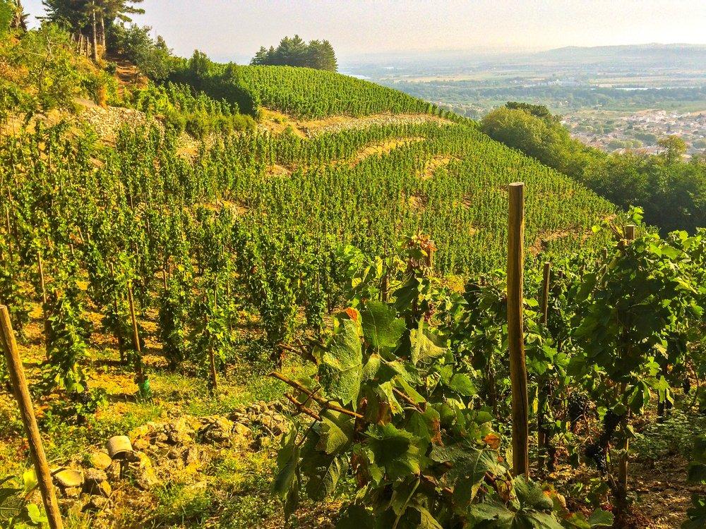 Old vine Syrah of the Northern Rhône. Be glad you don't have to harvest on those slopes!