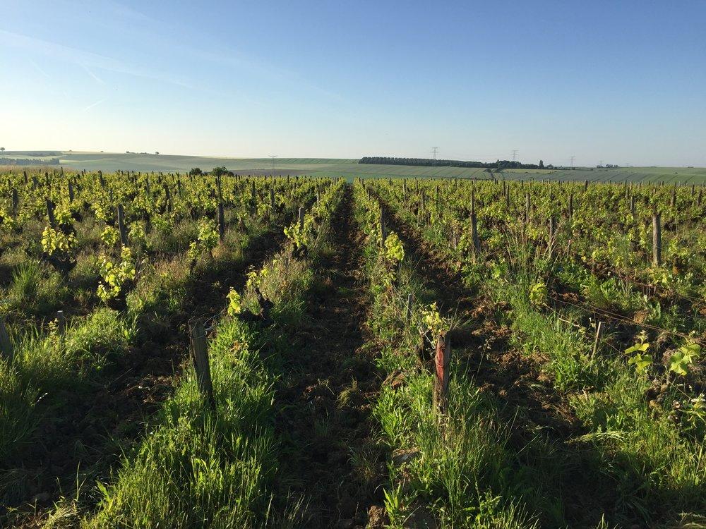 Vineyards of Coteaux du Giennois