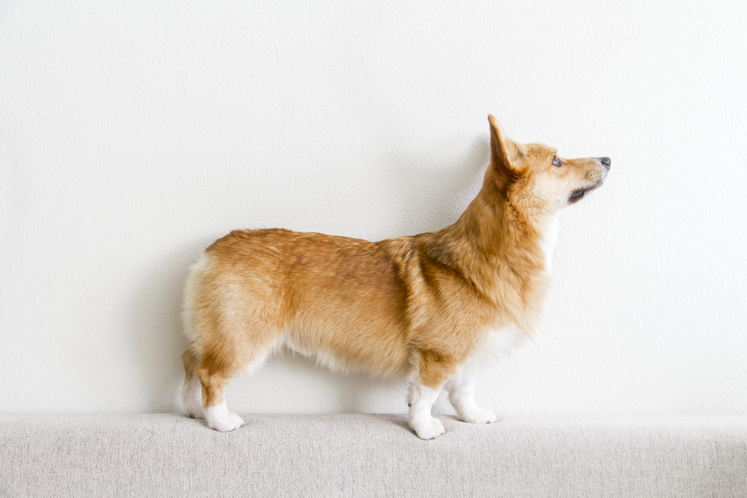 The Corgi Truth Weight Matters Littlecooperbear