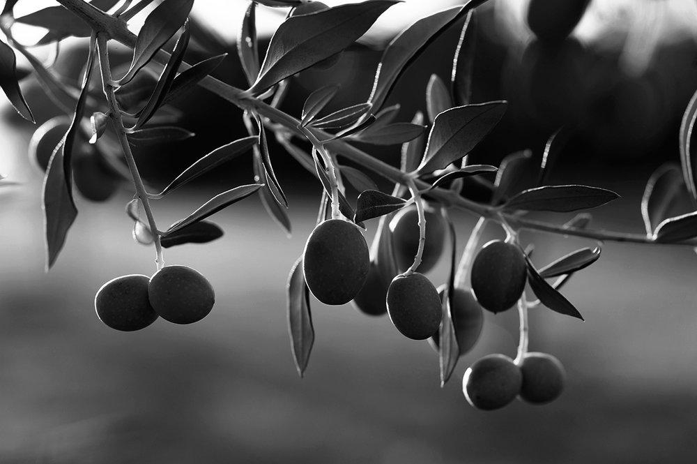 Olive  (Olea Europaea)