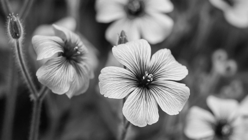 Geranium  (Pelargonium Graveolens)