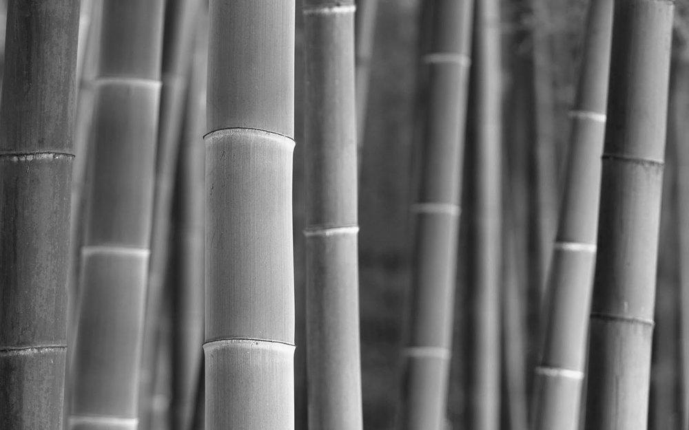 Bamboo  (Bambusoideae)