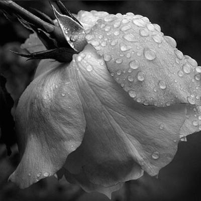 Bulgarian Rose (Rosa Damascena)