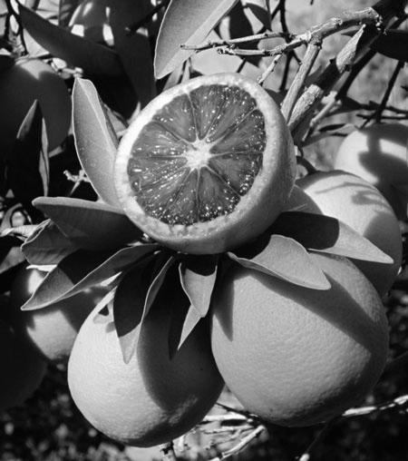 Moro Blood Orange  (Citrus Sinensis)