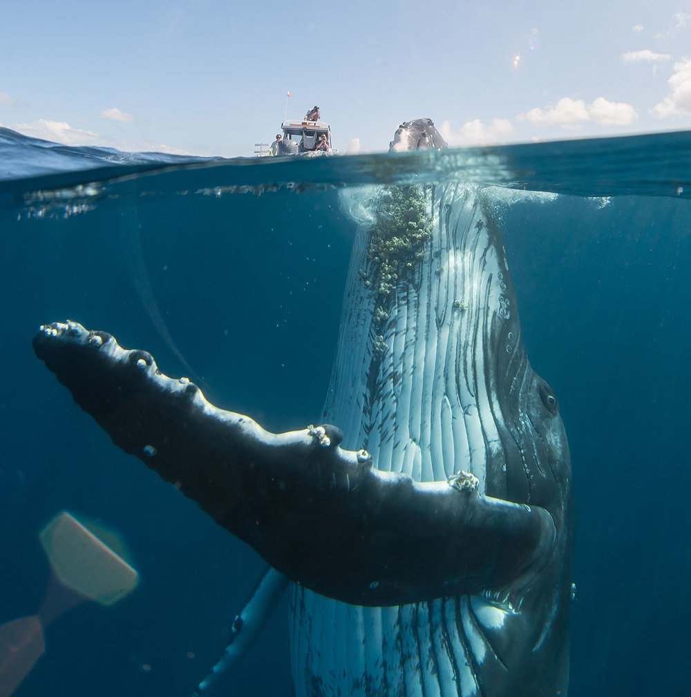 A humpback whale pops out of the waters near Tongatapu, Tonga. Photography by David Edgar.