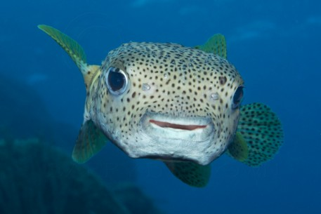 Koh tao paradise divers for Blowfish vs puffer fish