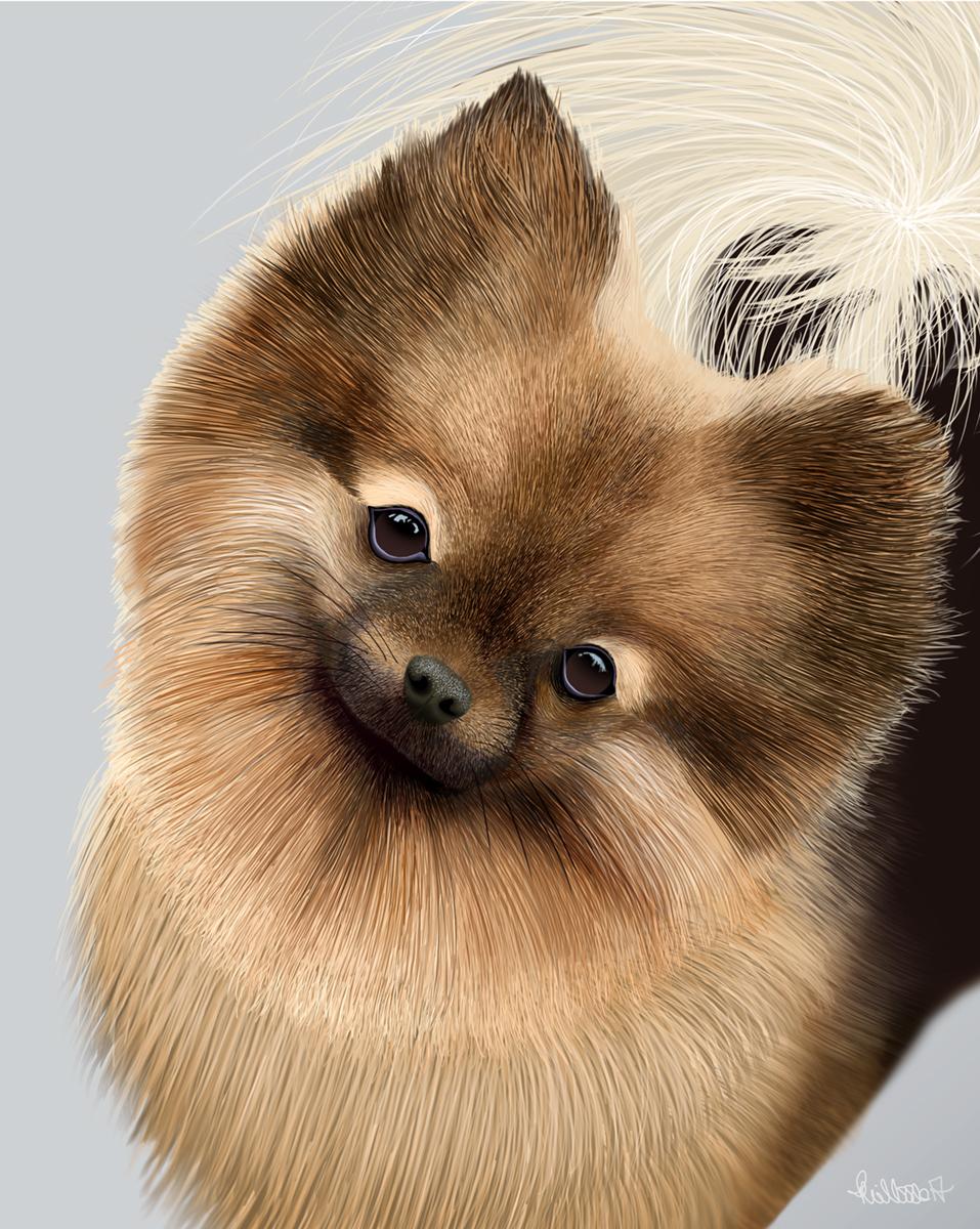Pomeranian portrait.jpg