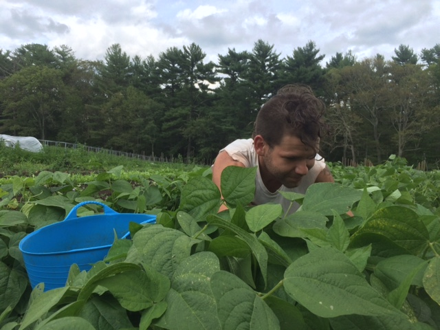 Chas picking your green beans!