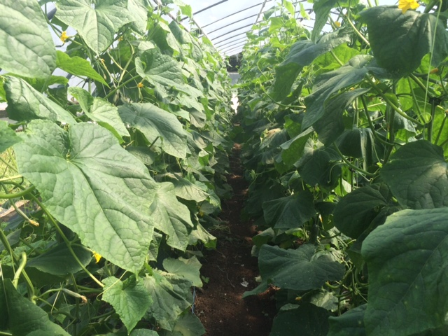 Hope you've been enjoying the cucumbers lately - the plants are currently over 9' tall!