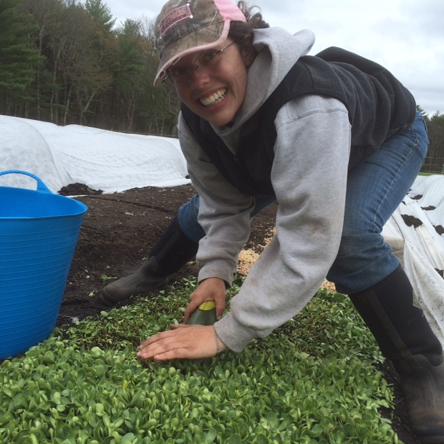 Assistant manager Danielle harvesting sunflower shoots!