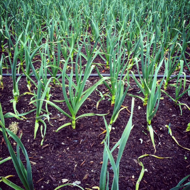 The garlic crop is looking fantastic thus far!