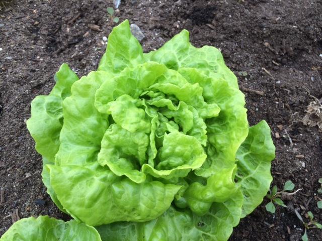 A small butterhead lettuce ready for harvest