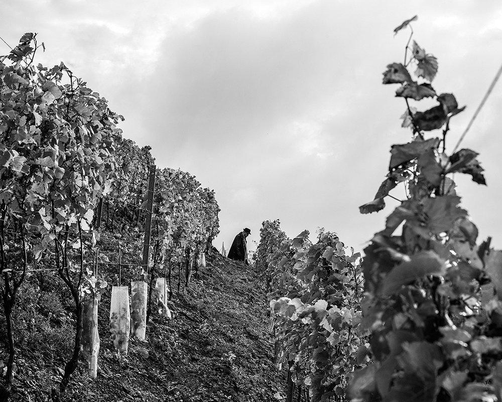 05 charbonnay 2015 vigne - copie.jpg