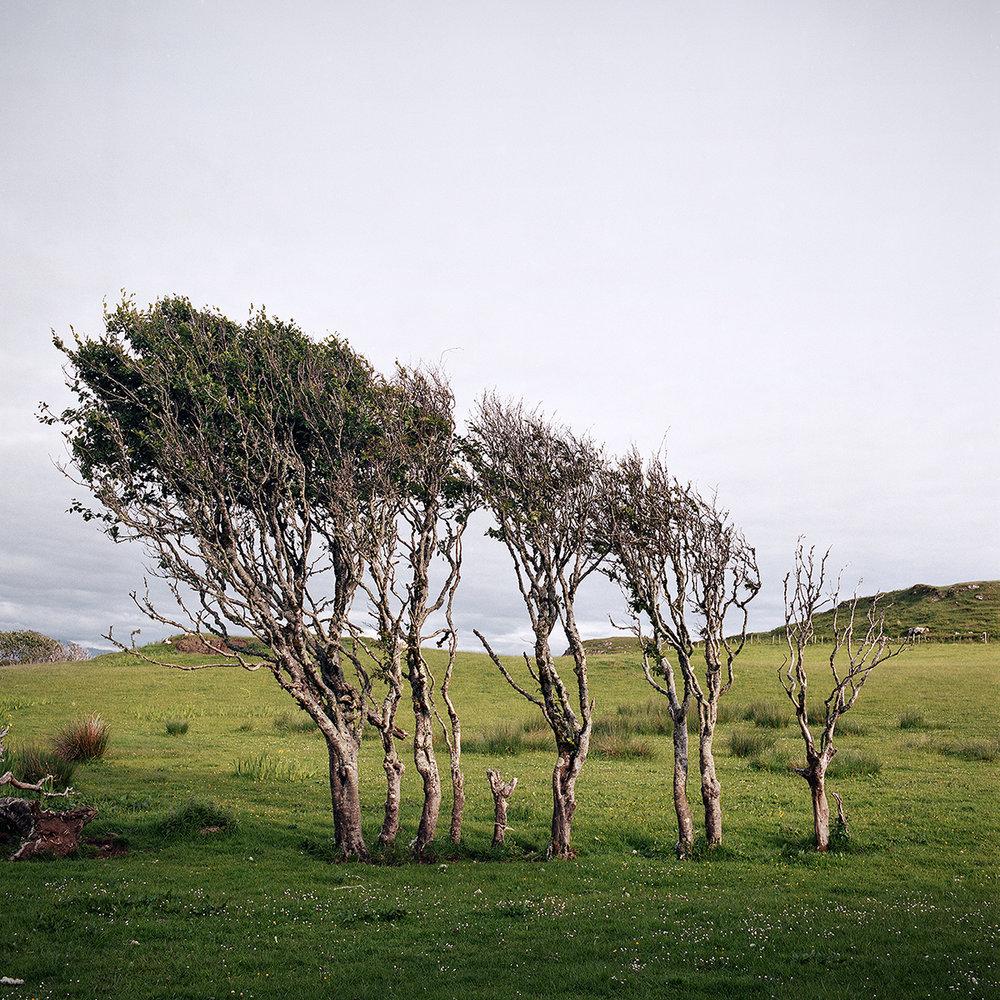 2017 06 eigg beech tree.jpg